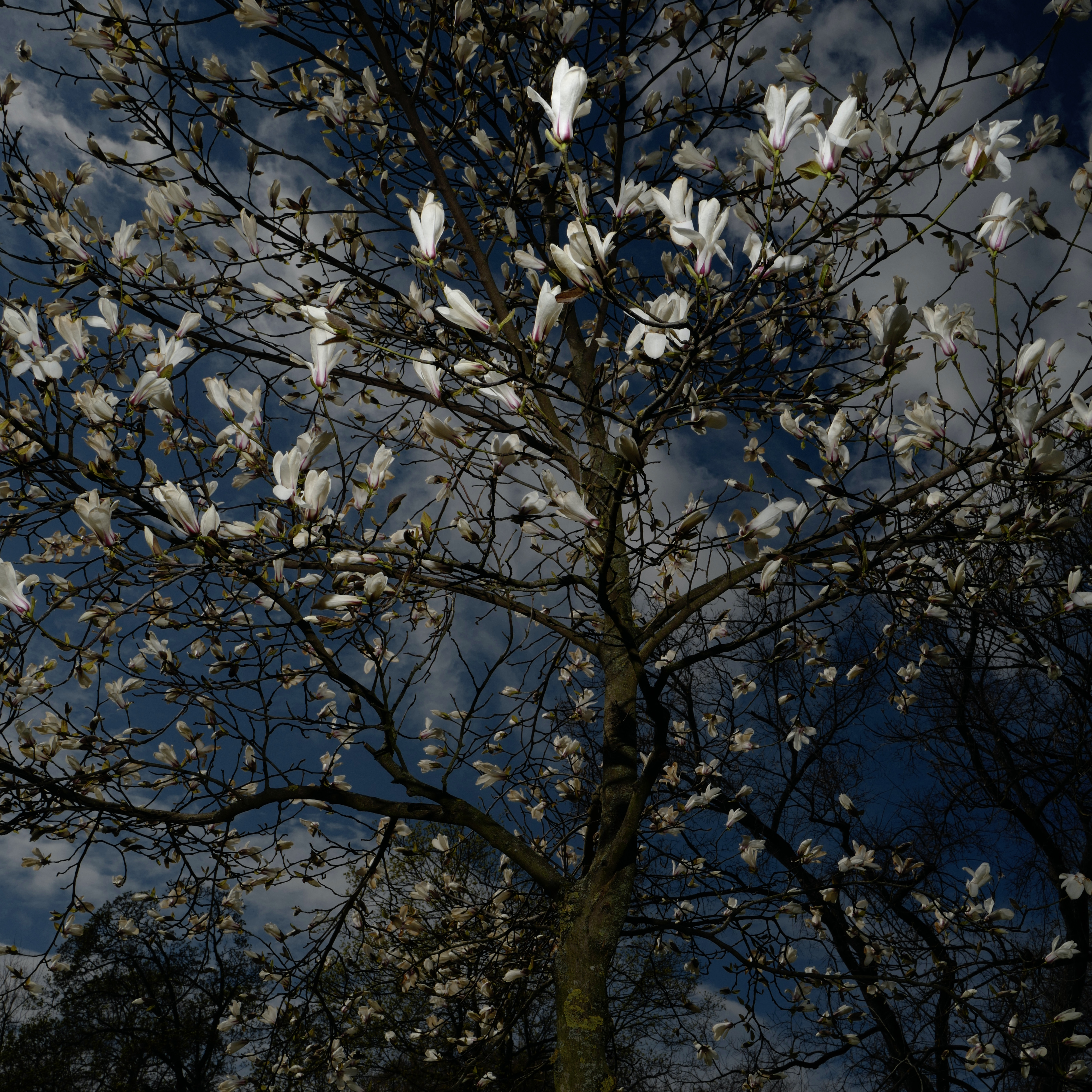 Grant Simon Rogers: Magnolia